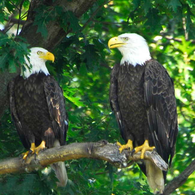 Two eagles perched in a tree on Lake Hopatcong